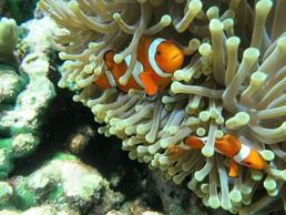Ein Clownfisch