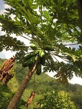 Ein Papaya-Baum