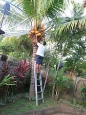 Die Kokosnüsse werden von der Palme gepflückt