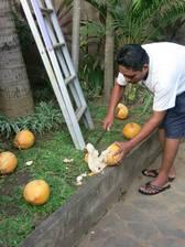 Zuerst müßen die Kokosnüsse mit einem großen Messer aufgehackt werden