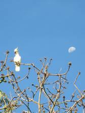 Kakadus auf Rinca