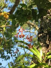 Seltene Orchideen auf Komodo