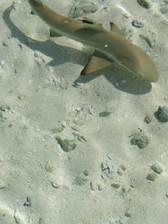 Ein Baby-Weißspitzenriffhai