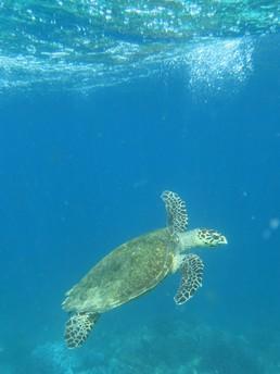 Noch eine von etlichen Meeresschildkröten