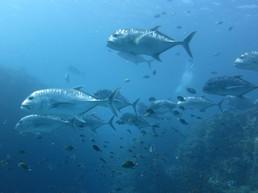 Große, silberne Fische, die in der Strömung geparkt haben