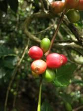Kaffee wächst überall ohne Ende