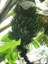 Bananen findet man alle paar Meter