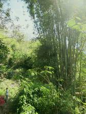 Der Bambus wird hier recht groß
