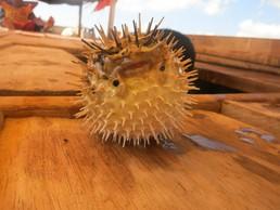 Dieser Kugelfisch hat seine besten Tage hinter sich. Man sieht ihm den Schrecken im Netz gelandet zu sein noch an