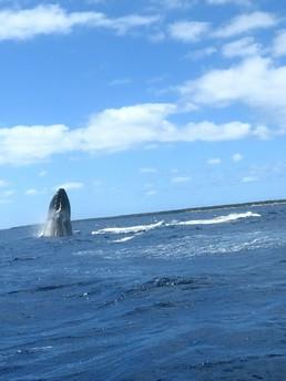 Buckelwale in Tonga