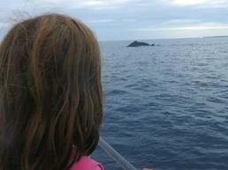 Zum Greifen nahe: Die Buckelwale