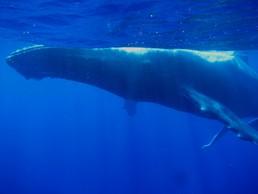 Die Wale schweben durch's Meer wie riesige Raumschiffe