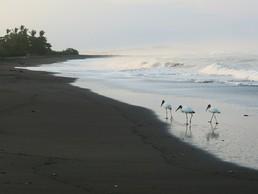 Die Ibisse laufen in kleinen Gruppen den Strand auf der Suche nach frisch geschlüpften Baby-Turtles ab
