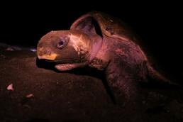 Ein Loch wird gebuddelt und die Eier abgelegt - Schwerstarbeit für die Schildkröte